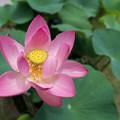 59薬師池公園【蓮の花】6