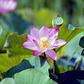 Photos: 07花菜ガーデン【田んぼたんぼ:蓮の花】6銀塩
