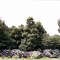 Photos: 08花菜ガーデン【アジサイの園路:紫陽花】1銀塩NLP