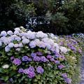 Photos: 09花菜ガーデン【アジサイの園路:紫陽花】2銀塩NLP