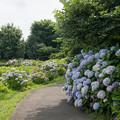 Photos: 10花菜ガーデン【アジサイの園路:紫陽花】3