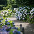 Photos: 11花菜ガーデン【アジサイの園路:紫陽花】4