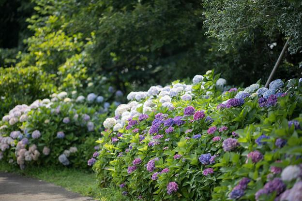 Photos: 12花菜ガーデン【アジサイの園路:紫陽花】5