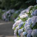 Photos: 13花菜ガーデン【アジサイの園路:紫陽花】6