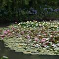 Photos: 14花菜ガーデン【尾根見の池:睡蓮】1