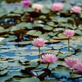 Photos: 15花菜ガーデン【尾根見の池:睡蓮】2銀塩NLP