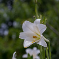Photos: 31花菜ガーデン【ユリ:ホワイトヘブン】