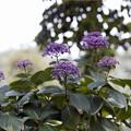 Photos: 32花菜ガーデン【紫陽花:ウズアジサイ】1銀塩NLP