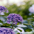 Photos: 33花菜ガーデン【紫陽花:ウズアジサイ】2銀塩NLP