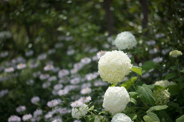 Photos: 36花菜ガーデン【紫陽花:アナベル】1