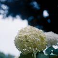 Photos: 37花菜ガーデン【紫陽花:アナベル】2銀塩NLP
