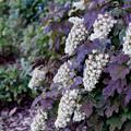 Photos: 38花菜ガーデン【紫陽花:カシワバアジサイ】銀塩NLP