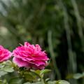 Photos: 40花菜ガーデン【夏バラ:ファンシー・ラッフル】1