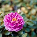 41花菜ガーデン【夏バラ:ファンシー・ラッフル】2銀塩NLP