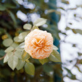 42花菜ガーデン【夏バラ:ティージング・ジョージア】銀塩NLP