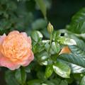 43花菜ガーデン【夏バラ:サマリタン】