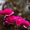Photos: 44花菜ガーデン【夏バラ:パローレ】