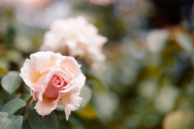 Photos: 45花菜ガーデン【夏バラ:ルミナス・ピラー】銀塩NLP