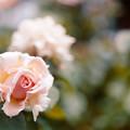 45花菜ガーデン【夏バラ:ルミナス・ピラー】銀塩NLP