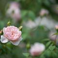Photos: 47花菜ガーデン【夏バラ:ウィズレー2008】