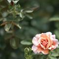 Photos: 49花菜ガーデン【夏バラ:トム・ブラウン】