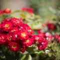 Photos: 50花菜ガーデン【夏バラ:花巻美人80】