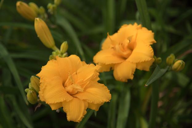 Photos: 52花菜ガーデン【ヘメロカリス:コンディラ】