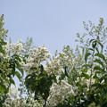 Photos: 53花菜ガーデン【ヤクシマサルスベリ】1