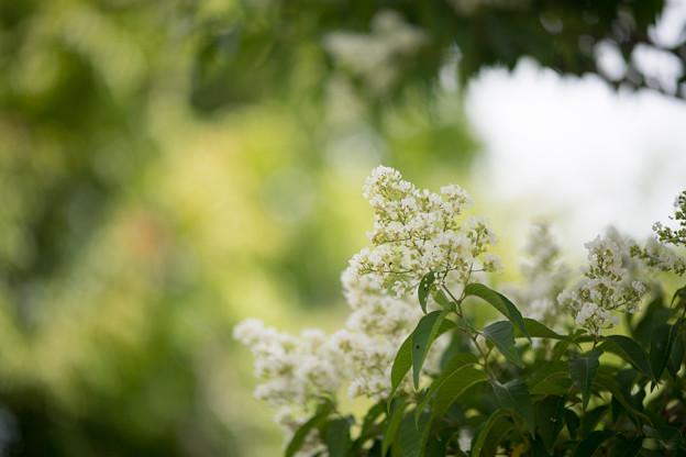 Photos: 54花菜ガーデン【ヤクシマサルスベリ】2