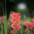 Photos: 57花菜ガーデン【グラジオラス】2