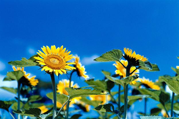 11花菜ガーデン【ヒマワリ】1銀塩NLP