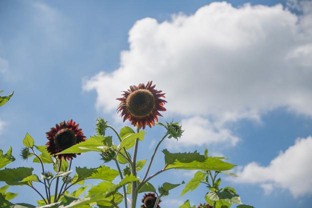 15花菜ガーデン【ヒマワリ】5