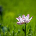 17花菜ガーデン【ハス】1