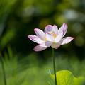 19花菜ガーデン【ハス】3