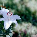 37花菜ガーデン【ユリ:シベリア】2銀塩NLP