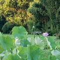 01中井蓮池の里【ハスの花】1-1