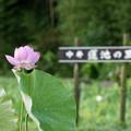 02中井蓮池の里【ハスの花】1-2
