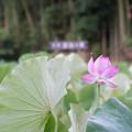 03中井蓮池の里【ハスの花】1-3