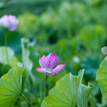 04中井蓮池の里【ハスの花】1-4