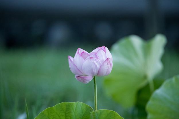 05中井蓮池の里【ハスの花】1-5