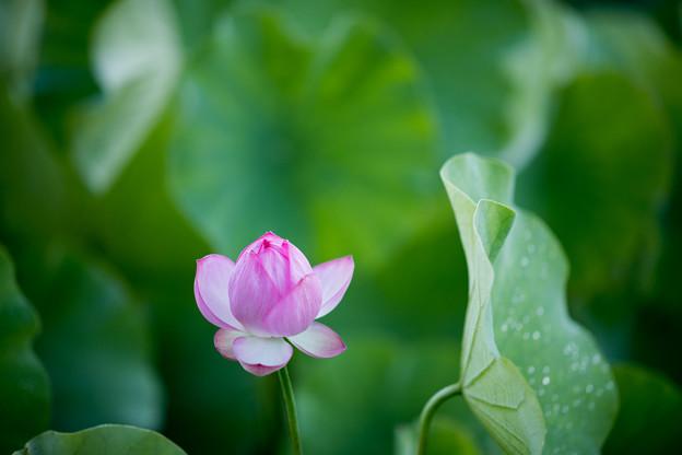 06中井蓮池の里【ハスの花】2-1