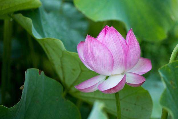 07中井蓮池の里【ハスの花】2-2