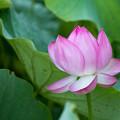 Photos: 07中井蓮池の里【ハスの花】2-2