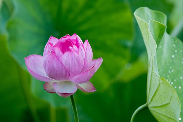 08中井蓮池の里【ハスの花】2-3