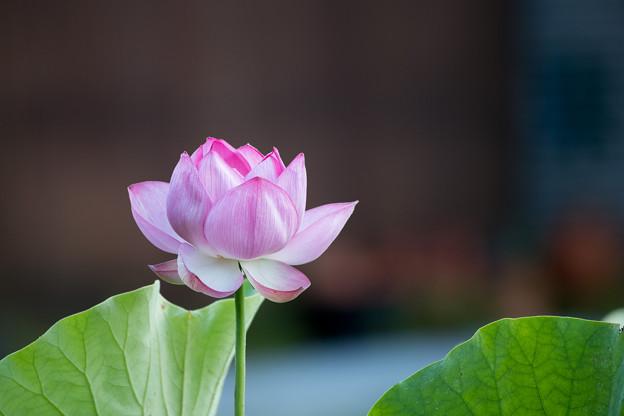 09中井蓮池の里【ハスの花】2-4