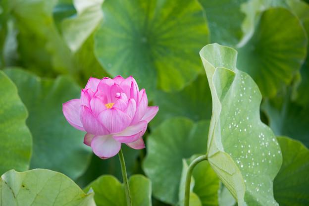 10中井蓮池の里【ハスの花】2-5