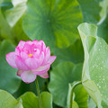 Photos: 10中井蓮池の里【ハスの花】2-5