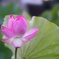11中井蓮池の里【ハスの花】3-1