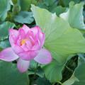 12中井蓮池の里【ハスの花】3-2