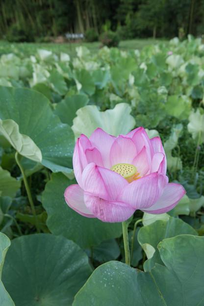13中井蓮池の里【ハスの花】3-3